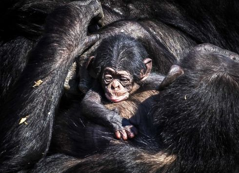 THE CIRCLE OF LIFE: The newborn chimpanzee walks outside with mother Pepa in Safaripark Beekse Bergen in Hilvarenbeek, the Netherlands. Photograph: Remko de Waal/EPA