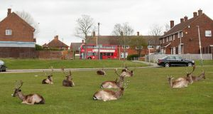 ENJOYING LOCKDOWN: Deer are seen relaxing in Harold Hill housing estate in Romford, UK, as the spread of  coronavirus continues. Photograph: Peter Cziborra/EPA