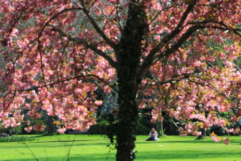 IN BLOOM: Spring colour in Merrion Square, Dublin. Photograph: Nick Bradshaw/The Irish Times