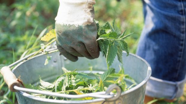 Make liquid feed from young nettles. Photograph: Getty