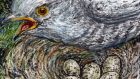 Cuckoo at other bird's nest: Most cuckoos of both sexes resemble some sort of hawk. Illustration: Michael Viney