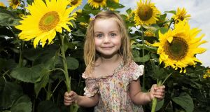 No other flowering annual is as exuberantly joyful as the sunflower. Photograph: Getty