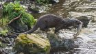 An otter catches a sizable trout from the river Dodder in Milltown, Dublin. Photograph: Brian Tansey