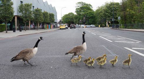 WADDLING ROAD: A gaggle of geese crosses the road in south London, Britain on Wednesday. Photograph: Facundo Arrizabalaga/EPA