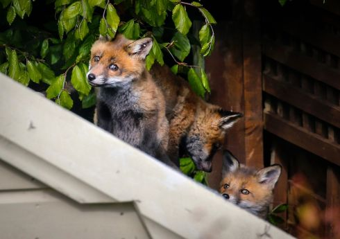 FANTASTIC MR FOX: Fox cubs play on the roof of a garden shed in Mount Merrion, south Dublin. The four cubs spent an hour on the roof while their mother basked in the sun on the lawn of the next door house. Photograph: Crispin Rodwell