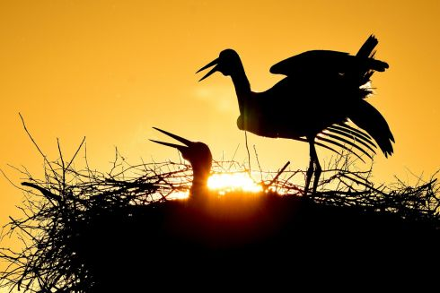 SILHOUETTE: White storks are silhouetted during sunrise in Hortobagy, Hungary on May 13th. According to a survey by the Hungarian Ornithological and Nature Conservation Society (MME), after decades of stability, the Hungarian white stork population has decreased by almost a quarter in the last five years. Photograph: Zsolt Czegledi/EPA