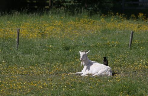 CREATURE COMFORTS: A goat enjoys the sun as a crow seeks out nesting materials. Photograph: Nick Bradshaw/The Irish Times