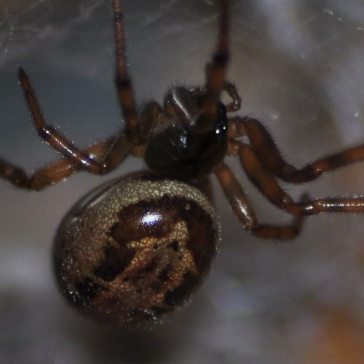 False Widow Spiders In Ireland More Venomous Than First Believed