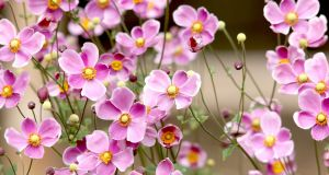 Anenomes in the garden. Photograph: Getty
