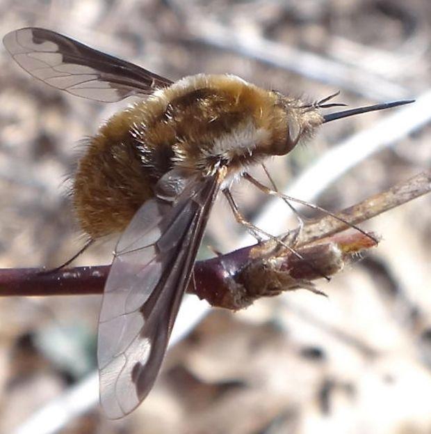 Dark-edged bee fly (Bombylius major)