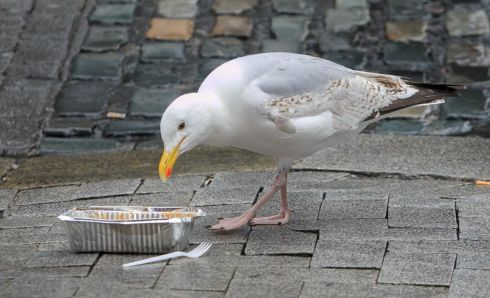 FEELING PECKISH: A seagull takes some lunch from a discarded takeaway tray in Temple Bar, Dublin. Photograph: Gareth Chaney/Collins