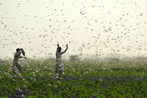 LOCUST SWARM: Farmers try to scare away a swarm of locusts from a field on the outskirts of Sukkur in southern Sindh province, Pakistan. Photograph: Shahid Ali/AFP via Getty Images