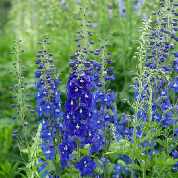Delphiniums growing in an Irish garden. Photograph: Richard Johnston