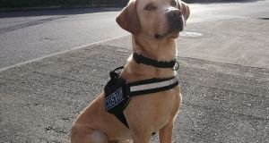 Revenue customs detector dog Bailey who helped uncover tens of thousands of euro worth of cannabis resin on its way to Irish addresses. Photograph:  Revenue.