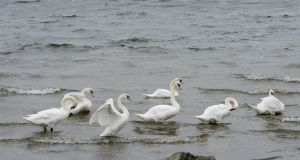 Swans on Lough Ennell in Mullingar. Photograph: Alan Betson