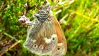One of the Large Heath Butterflies recorded in Co Kildare. Photograph: Tristram Whyte