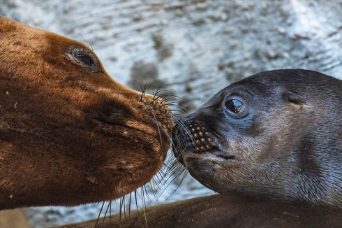 NEW ARRIVAL: A six-day-old sea lion pup with its mother Peaches at their enclosure at the 'Tiergarten Schoenbrunn' zoo in Vienna, Austria. Photograph: Christian Bruna/EPA