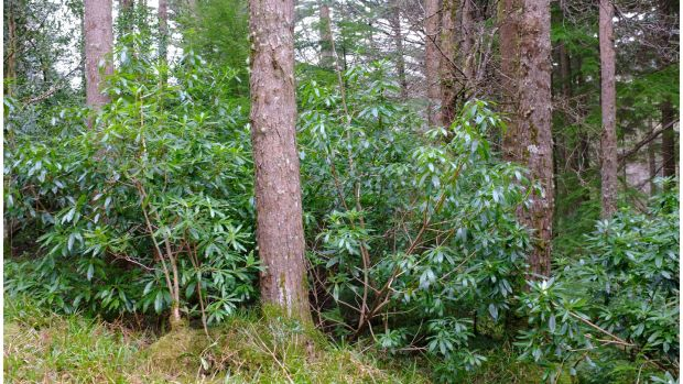 Rhododendron growing in Killarney National Park near Torc Mountain in Co Kerry . File photograph: Bryan O'Brien