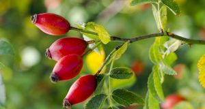 Johnny Magory is actually slang for the wild rosehip, from the Irish mogóir, a hip. Photograph: iStock