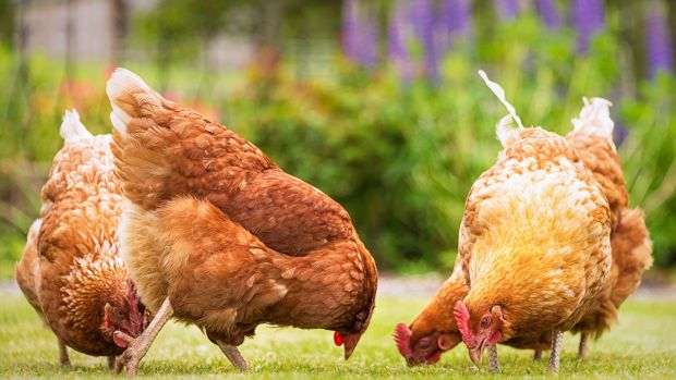 Talk to your hens, when they know your voice and learn the call they will run towards you and they become a lot quieter. Photograph: Getty