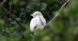 The fully white crow seen in Co Donegal. Photograph: Joe Boland/North West Newspix