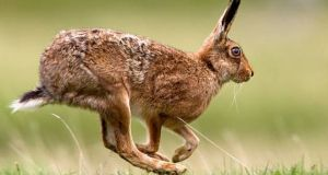 The Department of Heritage has responsibility for the conservation of hares, of which there are an estimated 250,000 in Ireland. Photograph: Getty Images