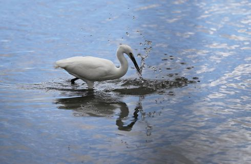 A Little Egret on the hunt at the Booterstown Marsh nature reserve, Booterstown, Dublin.  Photograph Nick Bradshaw/The Irish Times