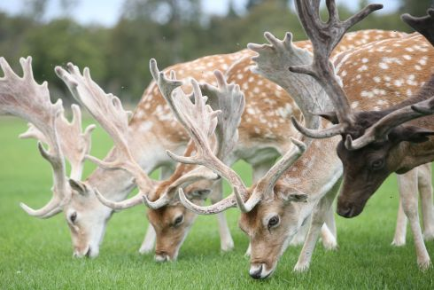 PARK LIFE: Deer graze in the Phoenix Park, Dublin on Friday. Photograph: Stephen Collins/Collins Photos