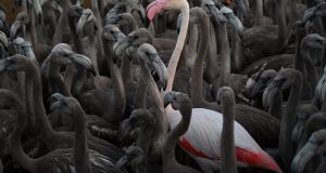 A pink flamingo stands with flamingo chicks in Aigues-Mortes, near Montpellier, southern France, during a tagging and controling operation to monitor the evolution of the species. Photograph: Christophe Simon/AFP via Getty Images