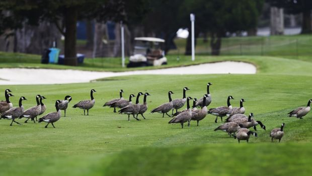 A gaggle of geese cross the seventh fairway during the final practice round for the 2020 US PGA Championship at TPC Harding Park in San Francisco. John G Mabanglo/EPA
