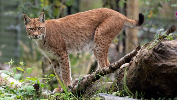 Naoise the lynx in the Wild Ireland Sanctuary in Burnfoot, Co Donegal. Photograph: Joe Dunne