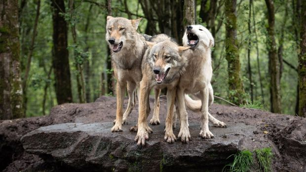 Wolves waiting to be fed in the Wild Ireland Sanctuary in Burnfoot, Co Donegal. Photograph: Joe Dunne
