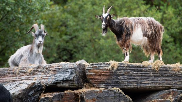 Old Irish goats in the Wild Ireland Sanctuary in Burnfoot, Co Donegal. Photograph: Joe Dunne