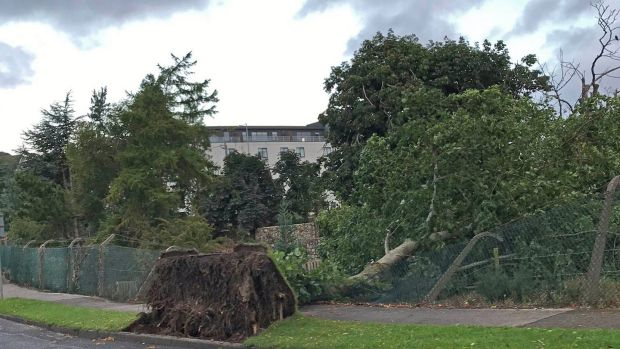 A fallen tree in Cabinteely, Co Dublin on Thursday. Photograph: Lawrence Hill/Twitter/PA Wire