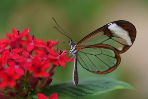BUTTERFLY EFFECT: A Glasswing butterfly feeds on flowers' nectar in the Butterfly House at Malahide Castle. Photograph: Fran Veale