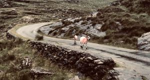 Used to traffic, the sheep of the Iveragh peninsula don't jump out of your way. Photograph: Frank McNally