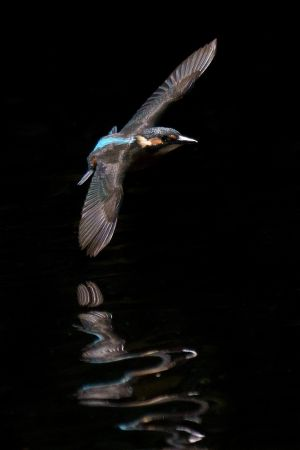 A kingfisher glides along the river Dodder. Photograph: Fran Veale