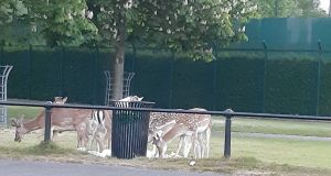 Deer eating rubbish from an overflowing bin in the Phoenix Park, Dublin. Photograph: Office of Public Works