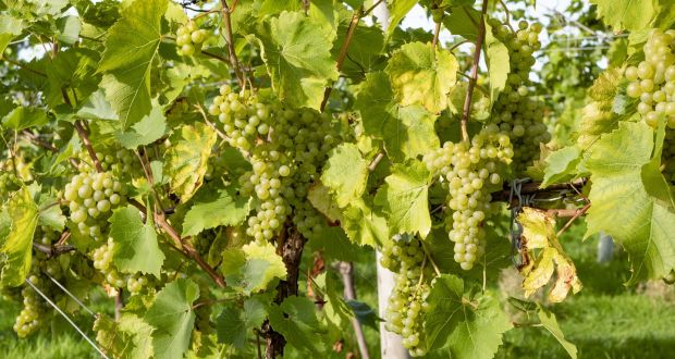 Chitosan, used in organic agriculture where it stimulates plants to mount defences against fungal infections, is also used in winemaking  and has potential as an additive to vaccines to make them more effective.