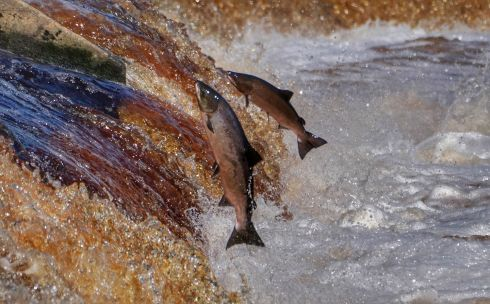 FISH OUT OF WATER: Salmon leap up the weir at Hexham in Northumberland, England, as they make their way up stream on the river Tyne. Photograph: Owen Humphreys/PA Wire