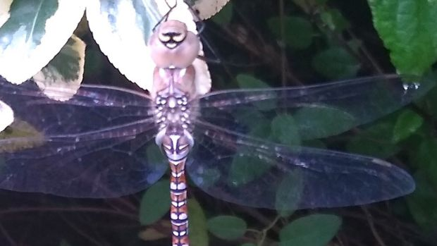 Female autumn hawker dragonfly