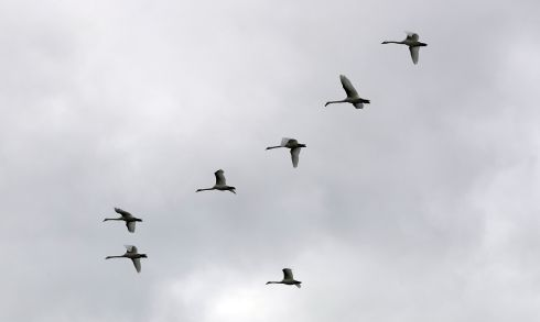 THE MAGNIFICENT SEVEN: Swans flying high over the river Liffey in Dublin. Photograph: Nick Bradshaw