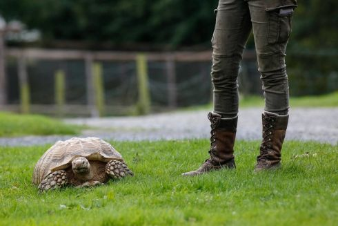 SLOW DOWN TOBY: An eight-year-old African Spurred Tortoise named Toby, out on a walk around the Secret Valley Wildlife Park Clonroche, Co Wexford, with Danielle Murphy, one of the keepers at the park. Photograph: Paul Sherwood