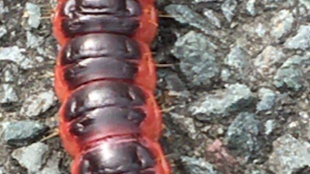 Caterpillar of the goat moth