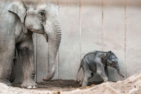 BABY STEPS: A newborn elephant strolls through the enclosure at the Copenhagen Zoo on October 2nd. The baby elephant was born on early October 1st and weighs approximately 100 kilograms. The sex of the newborn has not been determined, yet. Photograph: Emil Helms/Ritzau Scanpix/AFP/Denmark Out via Getty