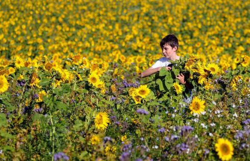 GOLDEN FIELD: A young boy in a field of sunflowers at Copas turkey farm near Cookham, in Berkshire, the flowers are free for members of the public to pick with a donation being asked for towards the Macmillan Cancer Support charity. Photograph: Steve Parsons/PA Wire