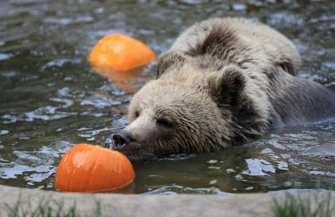 HALLOWEEN PARTY: Lucy, one of two rescued 19-month-old brown bear cubs, enjoys playing with bobbing pumpkins at the Wildwood Trust in Herne Bay, Kent. The pair, found abandoned in a snowdrift in the Albanian mountains, have been acclimatising to their new life in the UK before moving to a permanent home next year. Photograph: Gareth Fuller/PA Wire