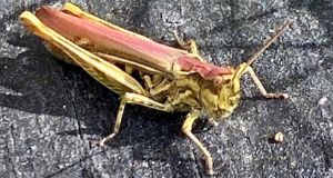 Pink grasshoppers are very rare as the colour is caused by a genetic anomaly