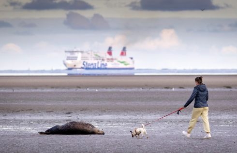A dog walker passes a seal on Sandymount Strand in Dublin. Photograph: Marc O'Sullivan