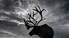 No sleighs to drive: A deer from a rent-a-reindeer business in northeast England where bookings have plunged this Christmas season. Photograph: Owen Humphreys/PA